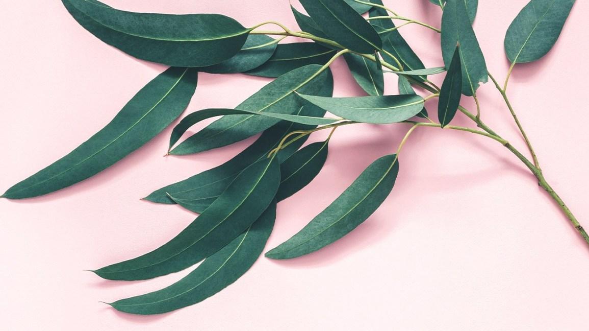 7 Impressive Benefits Of Eucalyptus Leaves Iran Darouk